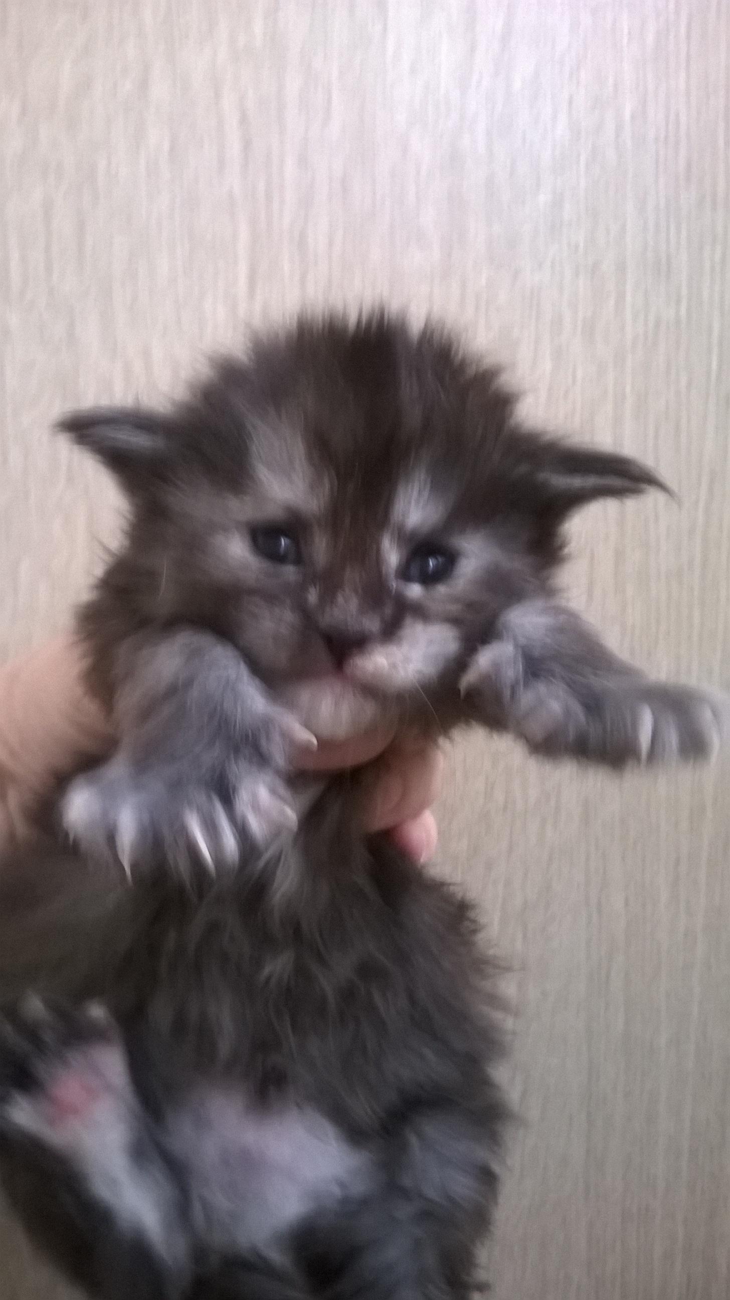 Котята в 21 день плохо сосут мать