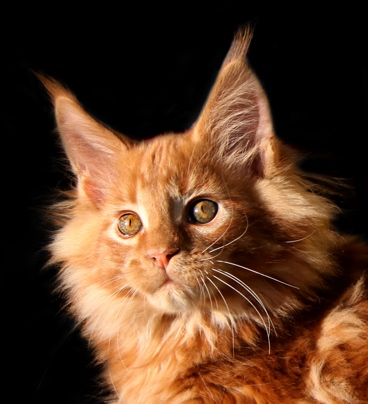 Мейн-кун кот кошка котята