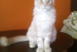 Мейн-Куны Москвы - котята мейн-кун от профессионалов